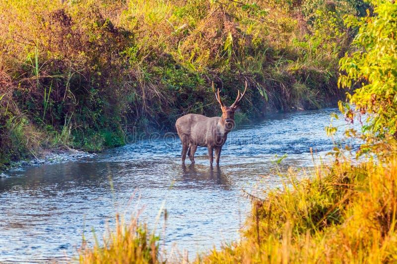 Ελάφια που διασχίζουν τον ποταμό στοκ φωτογραφία με δικαίωμα ελεύθερης χρήσης