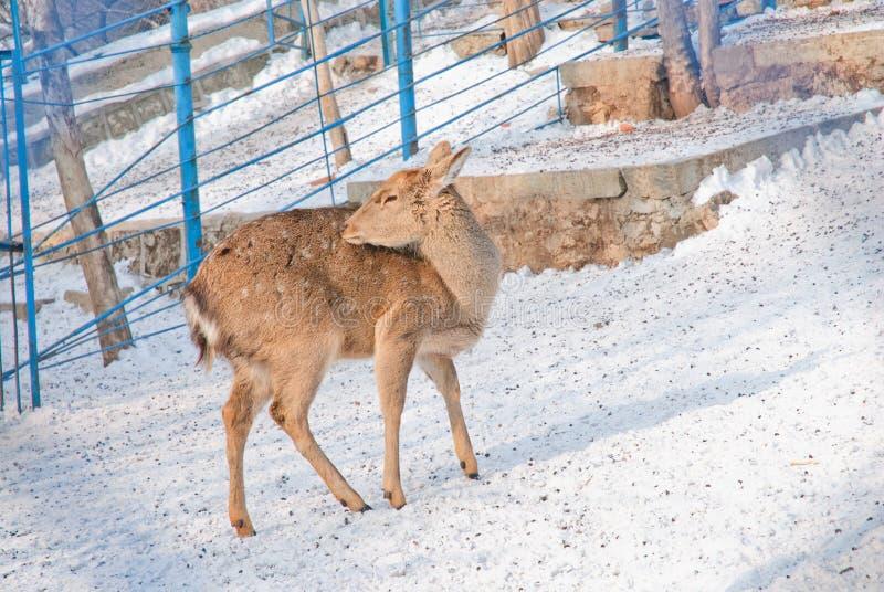 Ελάφια σε έναν ζωολογικό κήπο στοκ εικόνες με δικαίωμα ελεύθερης χρήσης