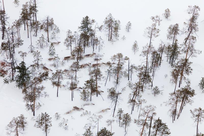 Ελάφια στο χειμερινό δασικός-tundra, τοπ άποψη στοκ εικόνα