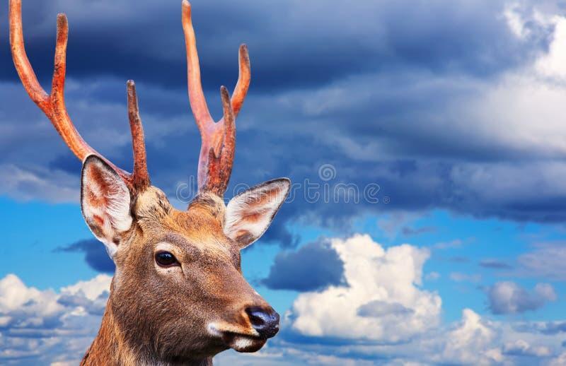 Ελάφια Sika ενάντια στο νεφελώδη ουρανό στοκ εικόνα