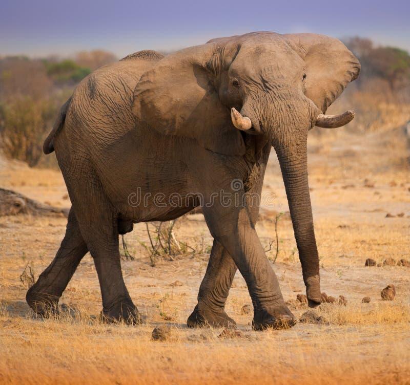 0 ελέφαντας έτοιμος να χρεώσει στοκ φωτογραφία