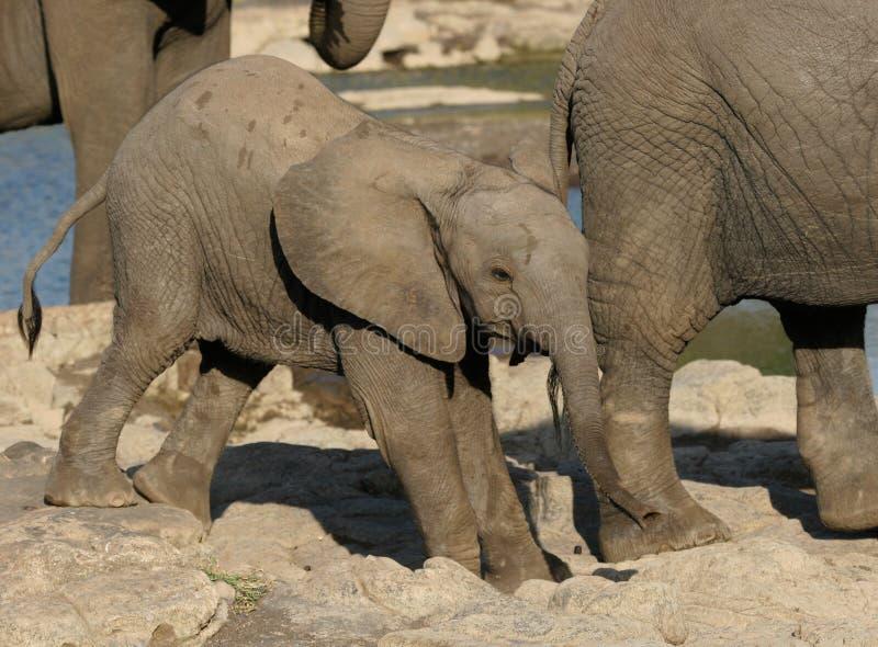 ελέφαντας μικρός στοκ φωτογραφίες