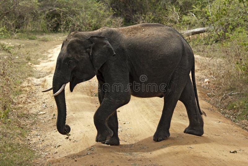 Ελέφαντας μωρών που διασχίζει το δρόμο στοκ φωτογραφίες