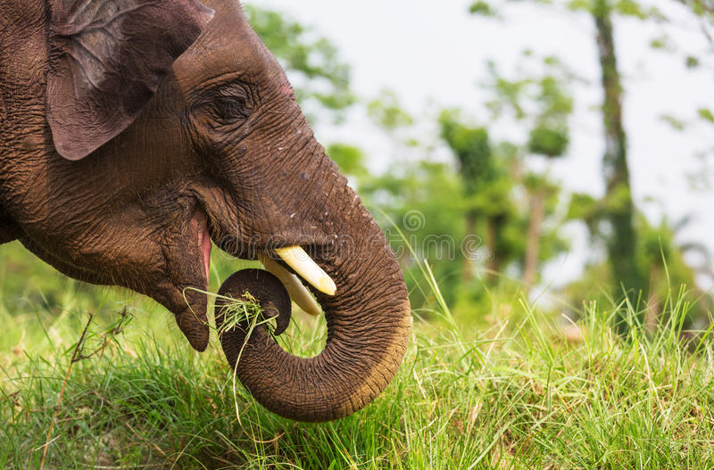 ελέφαντας Νεπάλ στοκ φωτογραφία με δικαίωμα ελεύθερης χρήσης