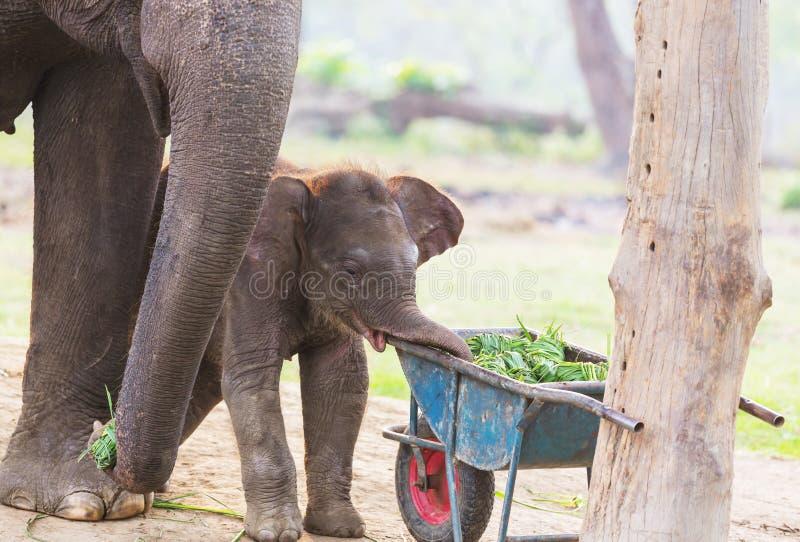 ελέφαντας Νεπάλ στοκ εικόνα