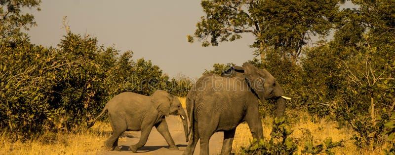 Ελέφαντας που διασχίζει το δρόμο στοκ φωτογραφία με δικαίωμα ελεύθερης χρήσης
