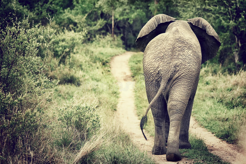 Ελέφαντας που περπατά στις άγρια περιοχές στοκ φωτογραφία