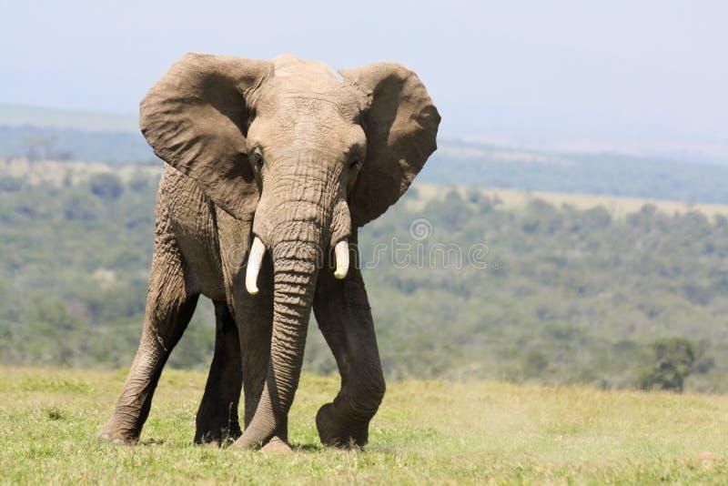 Ελέφαντας του Bull στοκ εικόνα με δικαίωμα ελεύθερης χρήσης