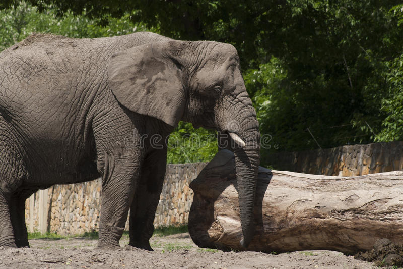 ελέφαντας φωτογραφικών μηχανών που φαίνεται ευθύς ζωολογικός κήπος στοκ φωτογραφία με δικαίωμα ελεύθερης χρήσης