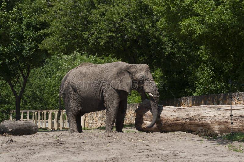 ελέφαντας φωτογραφικών μηχανών που φαίνεται ευθύς ζωολογικός κήπος στοκ φωτογραφία