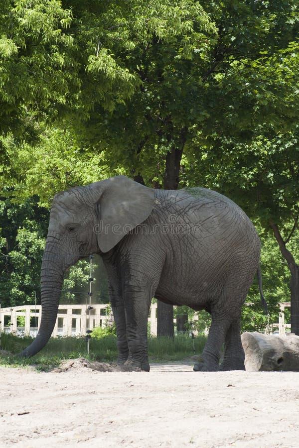 ελέφαντας φωτογραφικών μηχανών που φαίνεται ευθύς ζωολογικός κήπος στοκ εικόνες