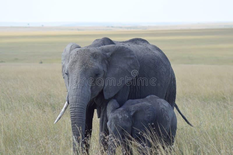Ελέφαντας Mum στοκ φωτογραφίες
