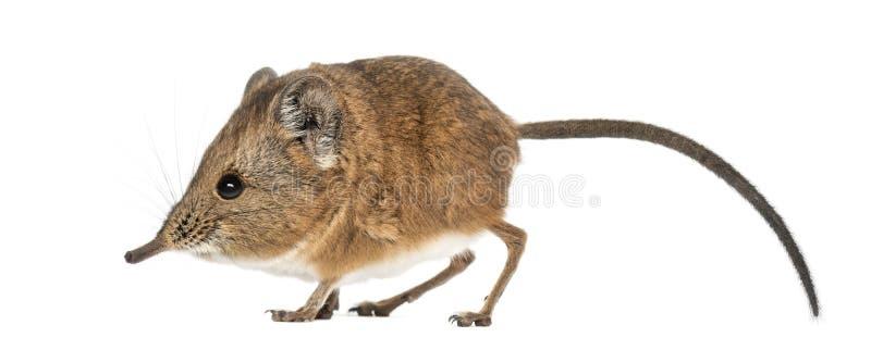 Ελέφαντας shrew - proboscideus Macroscelides - που απομονώνεται στο whitre στοκ εικόνα με δικαίωμα ελεύθερης χρήσης