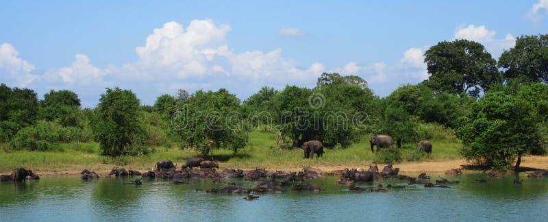Ελέφαντες και βούβαλοι στη Σρι Λάνκα στοκ φωτογραφίες