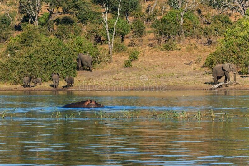 Ελέφαντες ομάδας που περπατούν και που πίνουν το hippo Αφρική ποταμών στοκ εικόνες