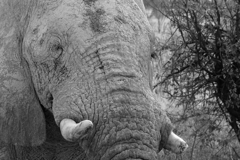 Download Ελέφαντες στο εθνικό πάρκο Etosha στη Ναμίμπια Στοκ Εικόνες - εικόνα από χαυλιόδοντας, εθνικός: 62700352