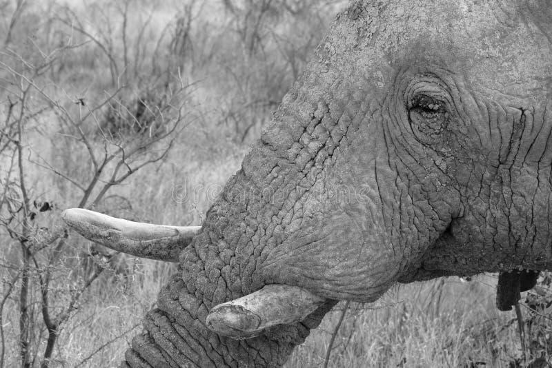 Download Ελέφαντες στο εθνικό πάρκο Etosha στη Ναμίμπια Στοκ Εικόνες - εικόνα από waterhole, ελεφαντόδοντο: 62700408