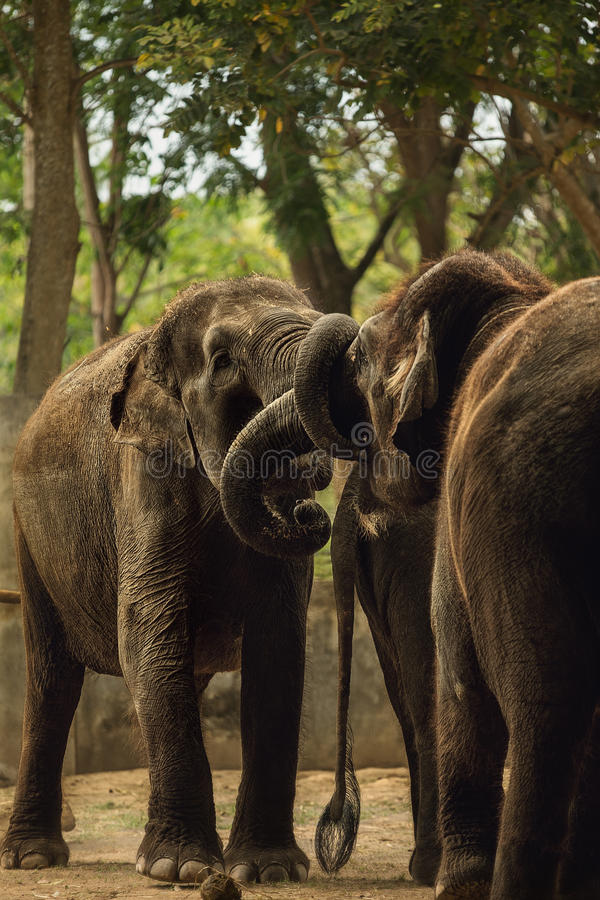 Download Ελέφαντες στοκ εικόνα. εικόνα από αποχής, περιβάλλον - 62702141