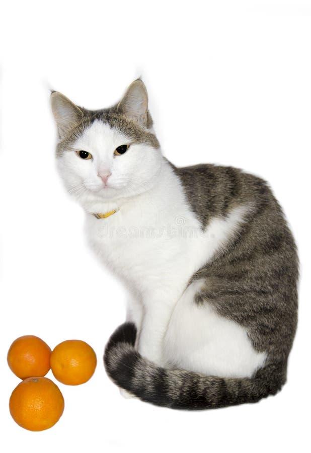 Ελαφριά όμορφη γάτα με tangerines στοκ φωτογραφίες