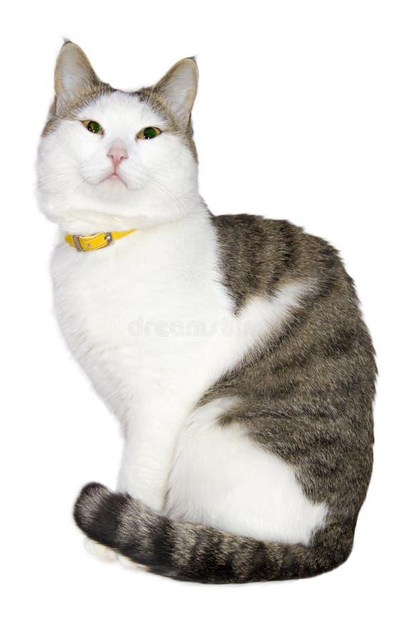 Ελαφριά όμορφη γάτα στοκ φωτογραφίες