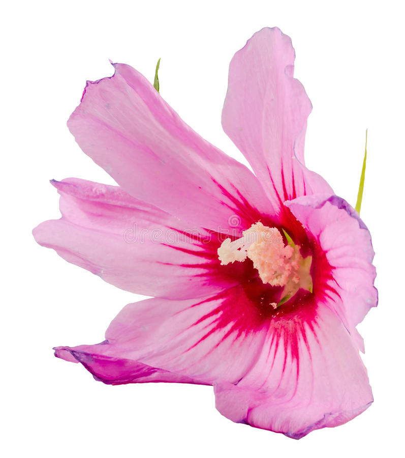 Ελαφρύ μωβ Hibiscus Rosa-chinensis λουλούδι διανυσματική απεικόνιση
