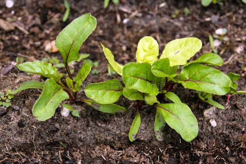 Ελβετικός chard νεαρός βλαστός στο φυτικό κήπο στοκ εικόνα
