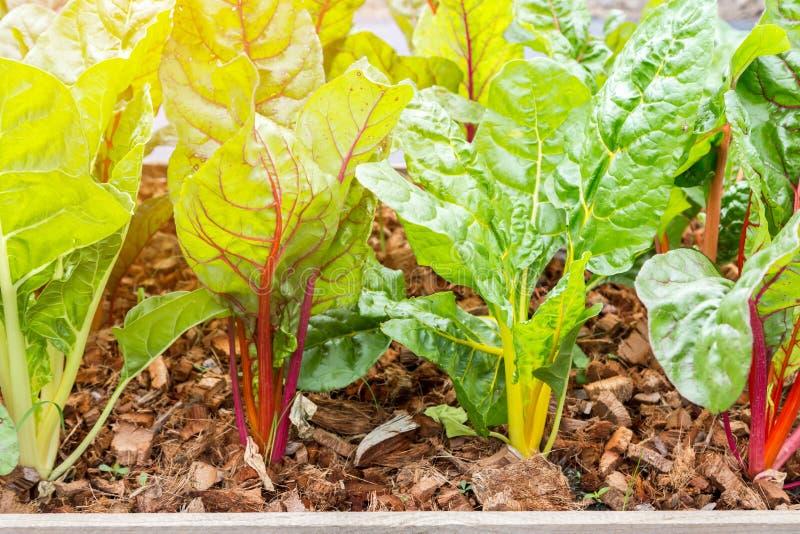 Ελβετικό chard στο φυτικό κήπο στοκ εικόνες με δικαίωμα ελεύθερης χρήσης