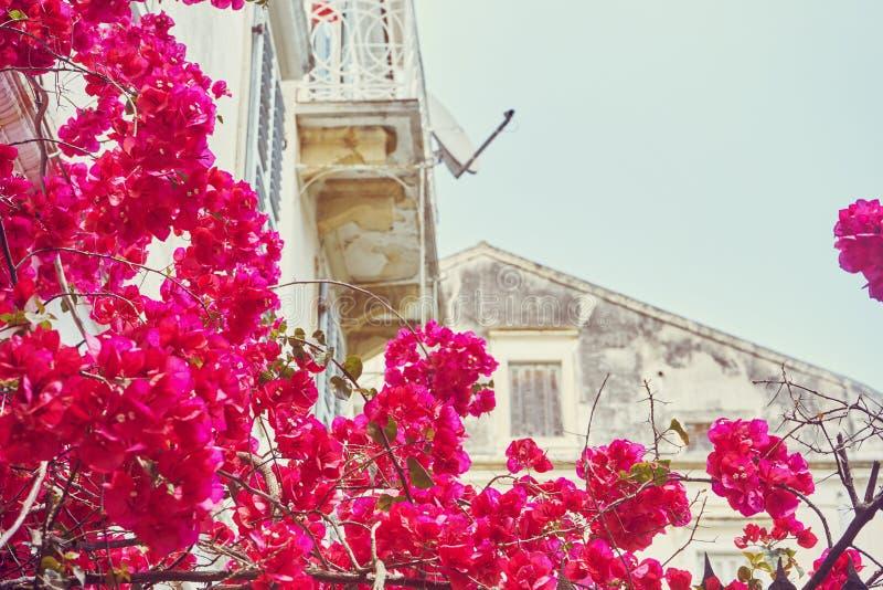 Ελληνικά σπίτια στα λουλούδια του bougainvillea, Κέρκυρα στοκ φωτογραφία με δικαίωμα ελεύθερης χρήσης