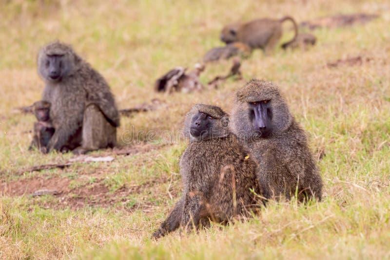Ελιά, ή σαβάνα, Baboon στράτευμα στο εθνικό πάρκο του Ναϊρόμπι στοκ εικόνα με δικαίωμα ελεύθερης χρήσης