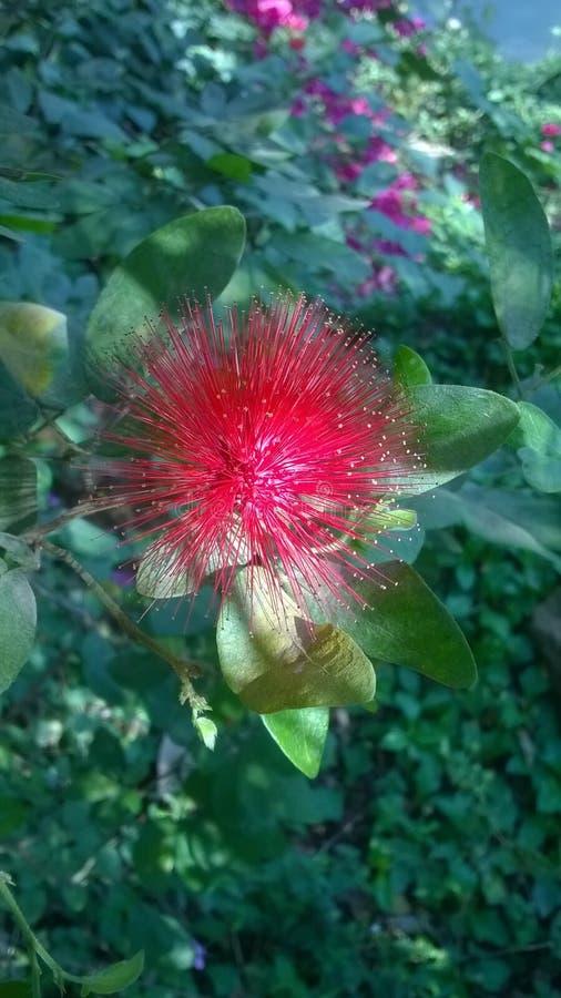 Ελκυστικό κόκκινο λουλούδι στοκ εικόνες