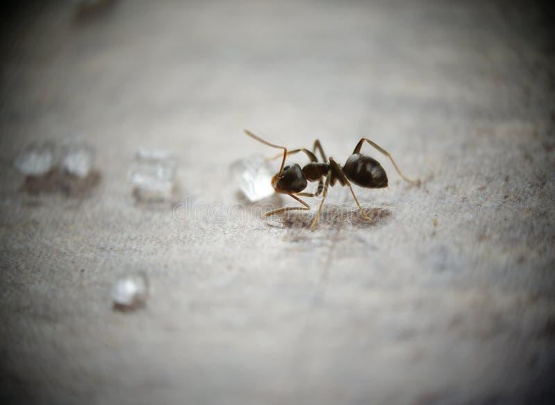 ζάχαρη μυρμηγκιών στοκ εικόνες
