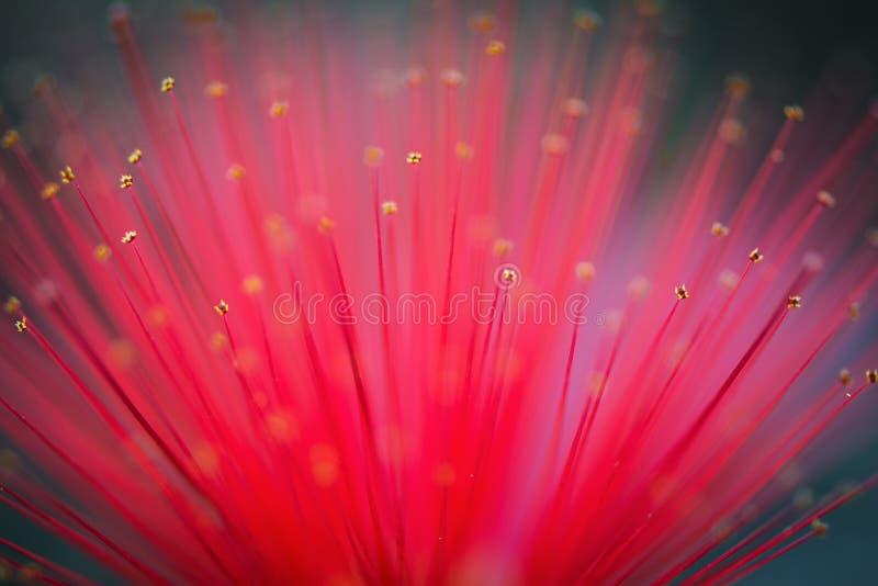 Ζάλη των κόκκινων πετάλων του ξεσκονόπανου φτερών ερήμων στοκ φωτογραφία