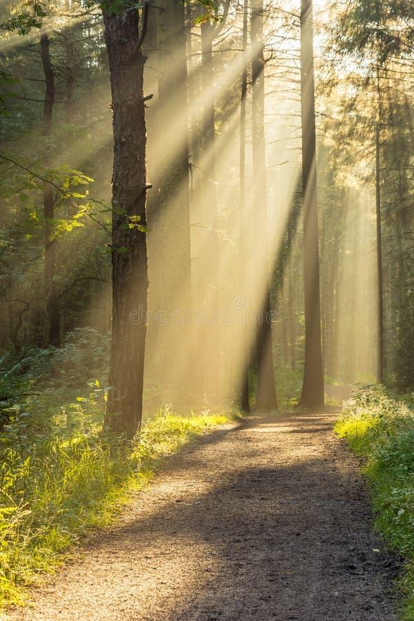 Ζάλη των φυσικών ακτίνων του φωτός που εισάγουν το δάσος μέσω των δέντρων σε ένα φρέσκο πρωί φθινοπώρου στοκ φωτογραφία