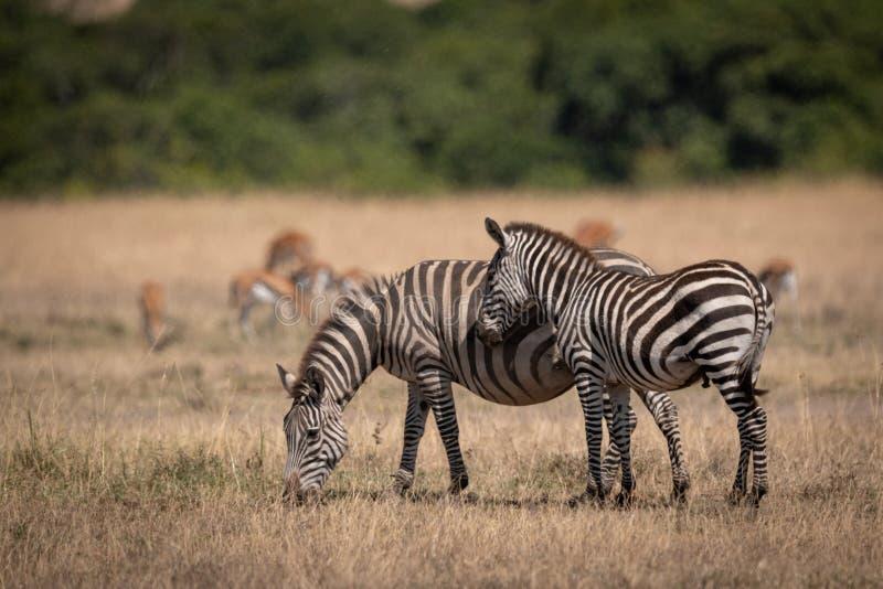 Ζέβεις στάσεις πεδιάδων από τη μητέρα gazelles πλησίον στοκ εικόνα