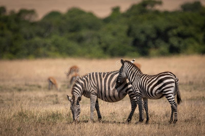Ζέβεις στάσεις πεδιάδων εκτός από τη μητέρα gazelles πλησίον στοκ φωτογραφία με δικαίωμα ελεύθερης χρήσης