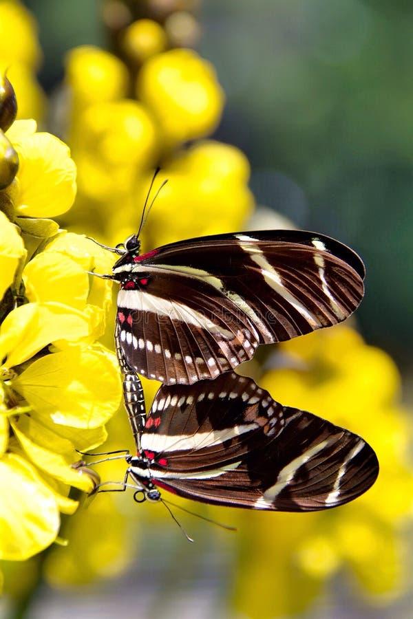 Ζέβες ζευγάρωμα πεταλούδων στοκ φωτογραφία