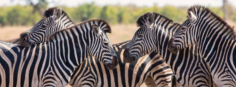 Ζέβες κοπάδι στη φωτογραφία χρώματος με τα κεφάλια από κοινού στοκ εικόνες