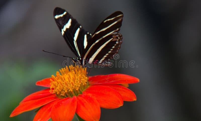 Ζέβες μακρύ φτερό στο κόκκινο & πορτοκαλί λουλούδι στοκ εικόνα με δικαίωμα ελεύθερης χρήσης