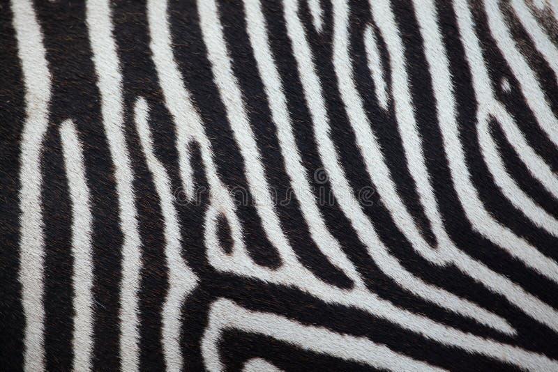 Ζέβες Equus grevyi Grevy ` s άνευ ραφής σύσταση δερμάτων tileable στοκ εικόνες