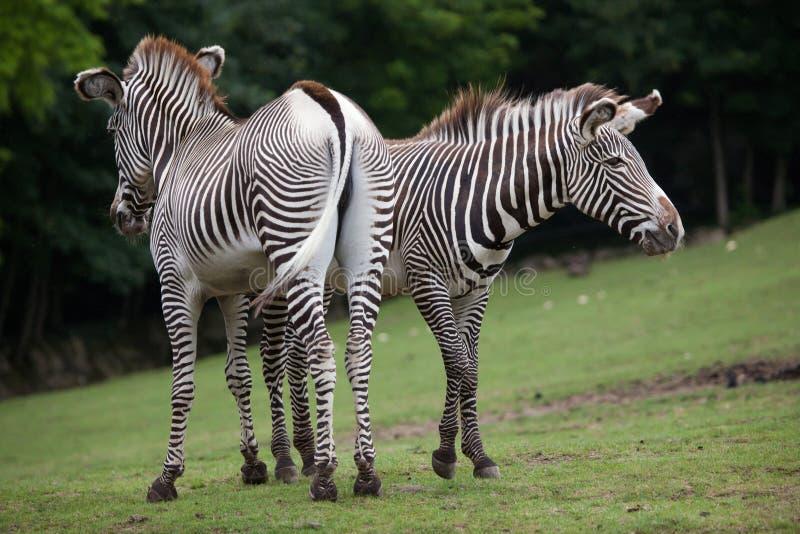 Ζέβες Equus grevyi Grevy ` s στοκ εικόνα με δικαίωμα ελεύθερης χρήσης