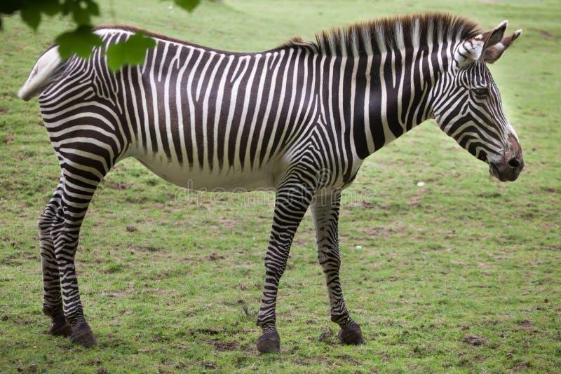 Ζέβες Equus grevyi Grevy ` s στοκ φωτογραφία