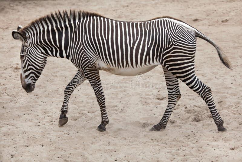 Ζέβες Equus grevyi Grevy ` s στοκ εικόνες με δικαίωμα ελεύθερης χρήσης