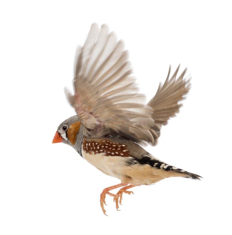 Ζέβες Finch που πετά, guttata Taeniopygia, ενάντια στοκ εικόνες