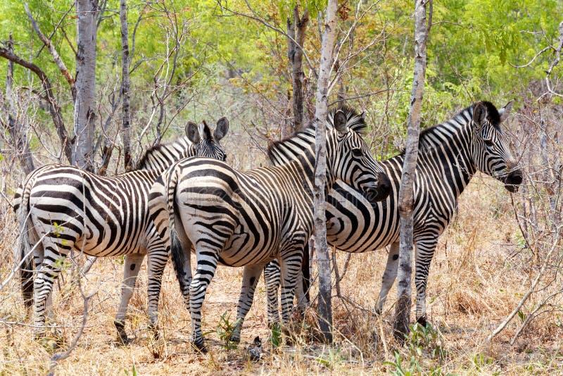 Ζέβες foal στον αφρικανικό θάμνο δέντρων στοκ φωτογραφίες με δικαίωμα ελεύθερης χρήσης