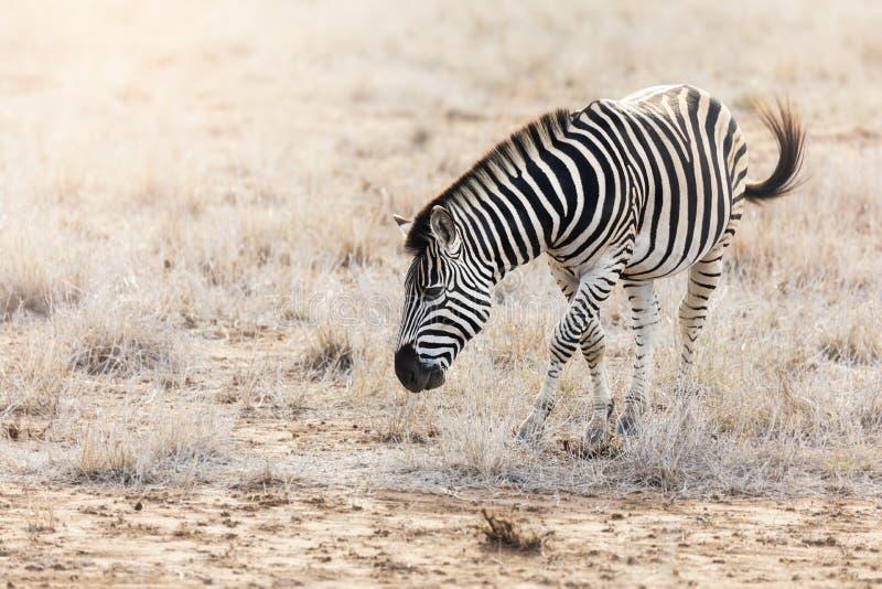 Ζέβρα βοσκή Burchell στο εθνικό πάρκο Kruger στοκ φωτογραφίες