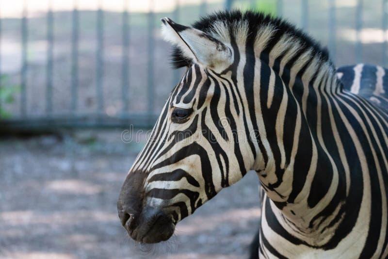 Ζέβρα γυρολόγος, Equus Burchelli Chapmani στοκ εικόνα με δικαίωμα ελεύθερης χρήσης