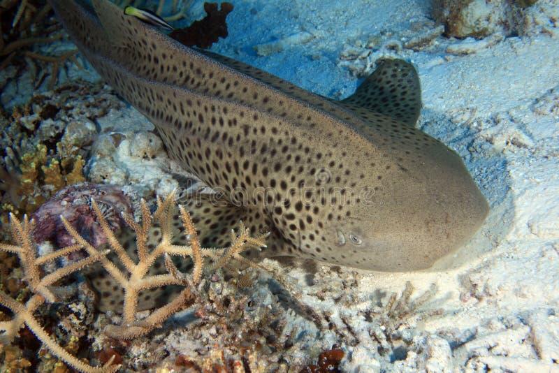Ζέβρα καρχαρίας στοκ εικόνα με δικαίωμα ελεύθερης χρήσης