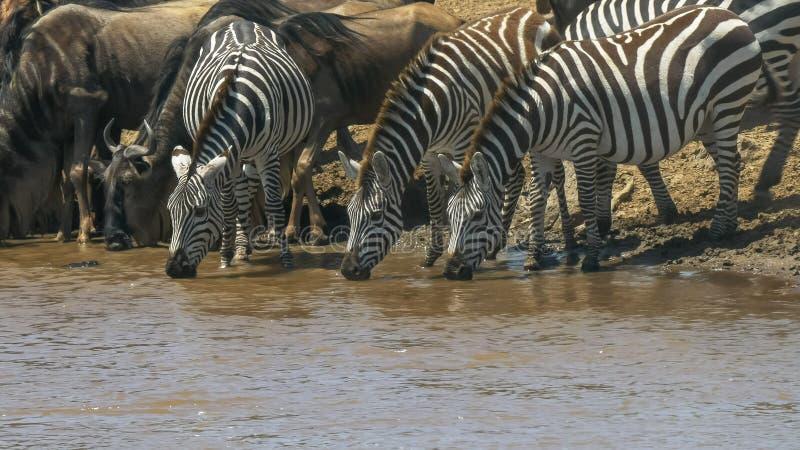 Ζέβρα κατανάλωση τρία από mara τον ποταμό στην Κένυα στοκ φωτογραφία
