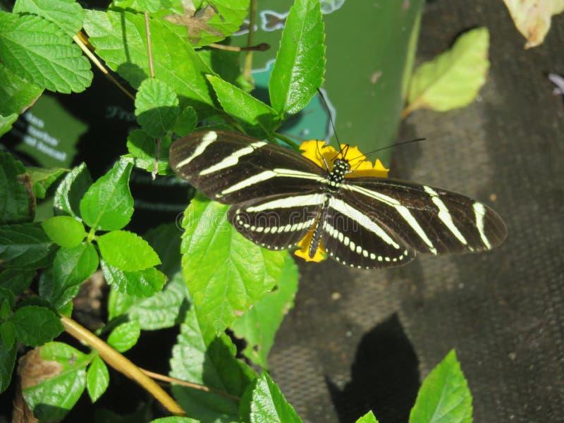 Ζέβρα πεταλούδα στις εγκαταστάσεις στοκ εικόνα