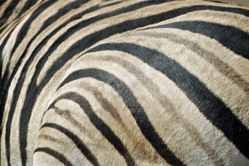 Ζέβρα σύσταση γουνών στοκ εικόνα με δικαίωμα ελεύθερης χρήσης